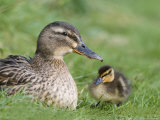 Mallard with Duckling  Martin Mere  Wildfowl and Wetland Trust Reserve  England  United Kingdom
