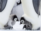 Emperor Penguin Chicks  Snow Hill Island  Weddell Sea  Antarctica  Polar Regions