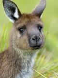 Kangaroo Island Kangaroo  (Macropus Fuliginosus)  Flinders Chase NP  South Australia  Australia