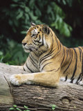 Sumatran Tiger  in Captivity at Singapore Zoo  Singapore