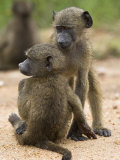 Young Chacma Baboons Playing  Kruger National Park  Mpumalanga  South Africa  Africa