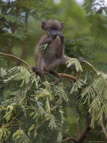 Young Chacma Baboon Playing in Tree  Kruger National Park  Mpumalanga  South Africa  Africa