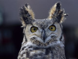 Close-Up of a Greeat Horned Owl  Bubo Virginiarius  Colorado