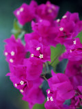 Bougainvillea Blooming  Island of Martinique  Lesser Antilles  French West Indies  Caribbean