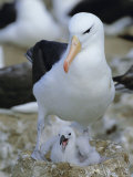 Black-Browed Albatross Adult at Nest with Chick  Steeple Jason Island  South Atlantic