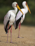 Yellow-Billed Storks  in Breeding Plumage on Riverbank  Kruger National Park  South Africa  Africa