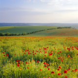 Poppies on the South Downs  Sussex  England