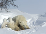 Polar Bear Mother with Twin Cubs  Wapusk National Park  Churchill  Manitoba  Canada