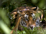 Female Indian Tiger at Samba Deer Kill  Bandhavgarh National Park  India