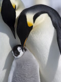 Emperor Penguin Chick and Adults  Snow Hill Island  Weddell Sea  Antarctica  Polar Regions