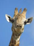 Giraffe  Giraffa Camelopardalis  with Redbilled Oxpecker  Mpumalanga  South Africa