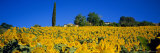 Sunflower Field  Tuscany  Italy  Europe