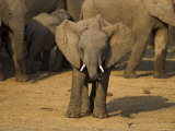 Baby Elephant  Eastern Cape  South Africa