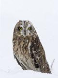 Captive Short-Eared Owl (Asio Flammeus) in the Snow  Boulder County  Colorado