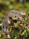 Eastern Gray Squirrel (Sciurus Carolinensis) in a Crab Apple Tree  in Captivity  Minnesota  USA