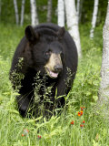 Captive Black Bear (Ursus Americanus)  Sandstone  Minnesota