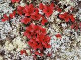 Alpine Bearberry (Arctostaphylos Alpina) in Fall Color on the Tundra  Denali National Park  Alaska