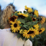 Sunflowers Being Carried by Grower  Washington State  USA