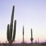 Cactus Plants after Sunset  Baja  Mexico  North America