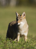 Coyote (Canis Latrans) Standing  in Captivity  Sandstone  Minnesota  USA