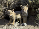 Two Gray Fox Pups at Den Entrance  Torres Del Paine  Chile  South America