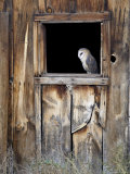 Captive Barn Owl (Tyto Alba) in Barn Window  Boulder County  Colorado