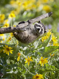 Captive Baby Raccoon Hanging on to a Branch Among Arrowleaf Balsam Root  Bozeman