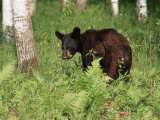 Black Bear Cub (Ursus Americanus)  in Captivity  Sandstone  Minnesota  USA