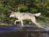 Gray Wolf Running Through Water  in Captivity  Minnesota Wildlife Connection  Minnesota  USA