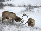 Two Bull Elk (Cervus Canadensis) Sparring in the Snow  Jasper National Park  Alberta  Canada