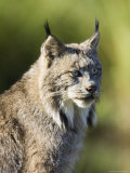 Close-Up of a Lynx (Lynx Canadensis) Sitting  in Captivity  Sandstone  Minnesota  USA