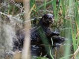 River Otter (Lutra Canadensis)  Big Cypress Nature Preserve  Florida
