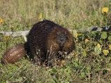 Captive Beaver (Castor Canadensis)  Minnesota Wildlife Connection  Sandstone  Minnesota  USA