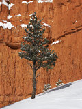 Pine Tree in Front of Red-Rock Face with Snow on the Ground  Dixie National Forest  North America