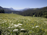 Cow Parsnip and Alpine Sunflower with Crested Butte in Distance  Washington Gulch  Colorado  USA