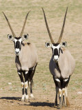 Two Gemsbok (South African Oryx) (Oryx Gazella)  Kgalagadi Transfrontier Park  South Africa  Africa