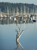 A Dead Tree and Its Reflection in the Quartermaster Marina  Vashon Island  Washington State