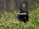 Striped Skunk with Tail Up  Minnesota Wildlife Connection  Sandstone  Minnesota  USA