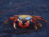 Sally Lightfoot Crab  Fernandina Island  Galapagos Islands  Ecuador  South America