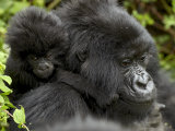 Infant Mountain Gorilla Clinging to Its Mother's Neck  Amahoro a Group  Rwanda  Africa