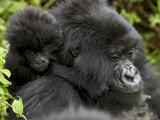 Infant Mountain Gorilla Clinging to Its Mother's Neck  Amahoro a Group  Rwanda  Africa