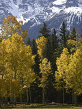 Fall Colors of Aspens with Evergreens  Near Ouray  Colorado