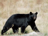 Black Bear (Ursus Americanus)  Outside Glacier National Park  Montana