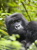 Adult Female Mountain Gorilla (Gorilla Gorilla Beringei)  Group 13  Rwanda  Africa
