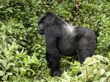 Silverback Mountain Gorilla Standing in Profile  Shinda Group  Rwanda  Africa