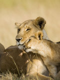 Lioness and Cub Showing Affection  Masai Mara Game Reserve  Kenya  East Africa  Africa