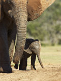 Mother and Baby African Elephant  Addo Elephant National Park  South Africa  Africa