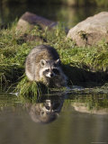 Raccoon (Racoon) (Procyon Lotor) at Waters Edge with Reflection  in Captivity  Minnesota  USA