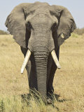 Front View of African Elephant with a Pierced Ear  Masai Mara National Reserve  East Africa  Africa
