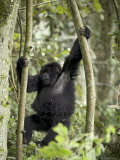 Young Mountain Gorilla Playing in the Trees  Amahoro a Group  Rwanda  Africa